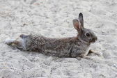 Humorous tired rabbit lying down to rest — Stock Photo