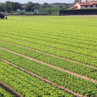Stock Photo: Intensive cultivation of salad in Northern Italy with vegetable