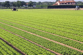 Intensive cultivation of salad in Northern Italy with vegetable — Stock Photo