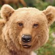 Stock Photo: Face of brown bear in middle of forests