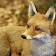 Stock Photo: Young specimen of Fox while resting lying in middle of l