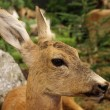Stock Photo: Small baby deer fallow deer wild animals of forest