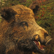 Stock Photo: Pointed tooth of wild boar of collini of Tuscany in italy