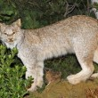 Stock Photo: Mountain Lynx with look of defiance in Woods