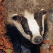 Stock Photo: Young Badger in middle of forest
