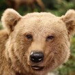 Stock Photo: Cute face of brown bear in middle of forests