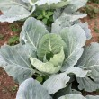 Cabbage plants are maturing in a vegetable garden in the country — Stock Photo