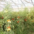 Stock Photo: Greenhouse for intensive cultivation of cluster tomatoes and