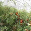 Greenhouse for the cultivation of cluster tomatoes 8 — Stock Photo
