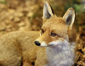 Young specimen of Fox while resting lying in the middle of the l — Stock Photo