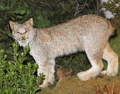 Mountain Lynx with look of defiance in the Woods — Stock Photo