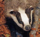Young Badger in the middle of the forest — Stock Photo
