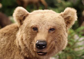 Cute face of a brown bear in the middle of the forests — Stock Photo