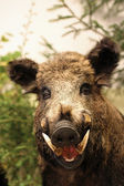 Wild boar of collini of Tuscany in italy — Stock Photo