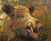 Grin and pointed tooth of a wild boar of collini of Tuscany — Stock Photo