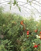 Cultivation of cluster tomatoes and cherry tomatoes in Italy 12 — Stock Photo