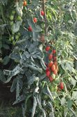 Greenhouse for the intensive cultivation of cluster tomatoes and — Stock Photo