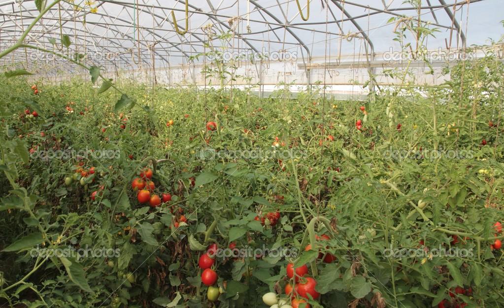 Выращивание томатов черри в теплицах 187