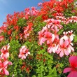 White and coloured red Geraniums in full bloom — Stock Photo #31109405