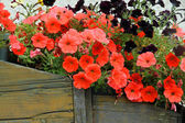 Red and black flower in bloom over a pot of antique wood — Stock Photo