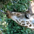 Giraffe long necked while eating the leaves 2 — Stock Photo