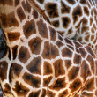 Beautiful spotted fur coat of two African giraffes — Stock Photo #31149241