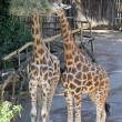 Two giraffes with long necks while they eat — Stock Photo