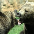 Ferocious bears struggle with shots and open jaws bites contend — Stock Photo