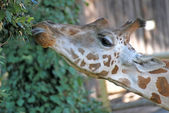 Giraffe long necked while eating the leaves 1 — Stock Photo