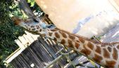 长颈鹿的长脖子吃树叶 3 时 — 图库照片