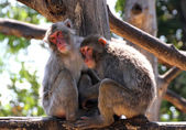 Japanese Macaque mother and daughter look lost in empty — Stock Photo