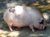 Pink pig fat rest with its huge grinding wheel inside the pigsty — Stock Photo