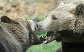 Two ferocious bears struggle with powerful shots and open jaws b — Stock Photo