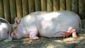 Pink fat Pork is sleeping inside the pigsty — Stock Photo