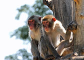 Two Japanese macaques clinging to a tree branch — Stock Photo