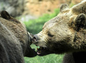 Ferocious bears struggle with powerful shots and open jaws bites — Stock Photo