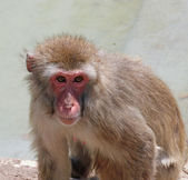 Deep and meaningful look of a macaque monkey — Foto de Stock