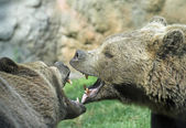 Ferocious bears struggle with mighty bites and blows the mouth o — Stock Photo