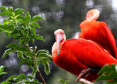 Red ibis bird with very vivid plumage over the branch of a tree — Stock Photo