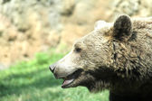 Brown bear while resting in the midst of his natural habitat — Stock Photo