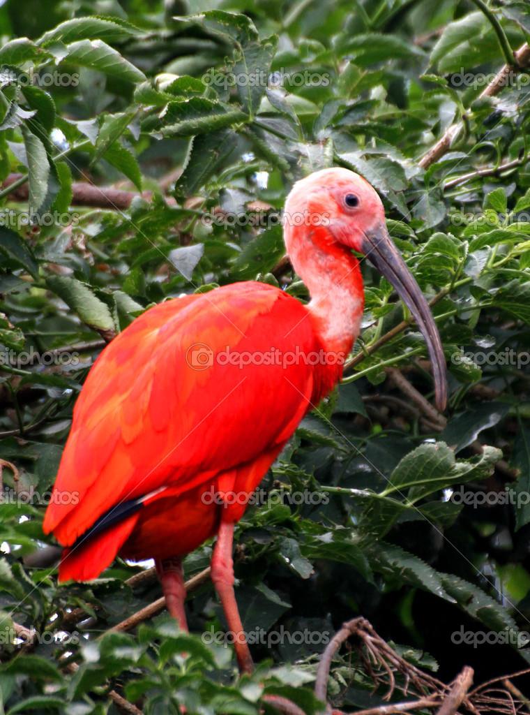Oiseau ibis rouge avec un plumage tr s vive et un long bec for Oiseau a long bec