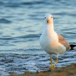 Elegant Seagull on the shore of the beach in search of leftover — Stock Photo