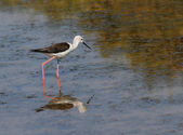Black-winged stilt bird with long tapered legs walking in the po — Stock Photo
