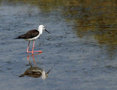 Black-winged stilt bird with long tapered legs walking — Stock Photo