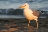 Elegant white Seagull on the shore of the beach — Stock Photo