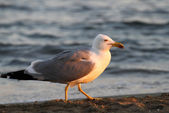 White Seagull on the shore of the beach in search of leftover fo — Stock Photo
