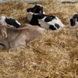 Cows in the barn of the farm 2 — Stock Photo