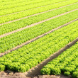Salad field on a farm — Stock Photo