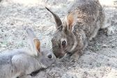 Rabbits with the soft hair and long ears — Stock Photo