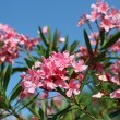 Oleander flower flortypical of Mediterranein southern E — Stock Photo #32581633